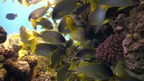 Pomadasys commersonnii school of fish on coral reef relax underwater Red sea. Sweetlips Grunzer of yellow color. Amazing video about marine nature on stock video