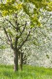 Pomar - árvores da mola imagem de stock