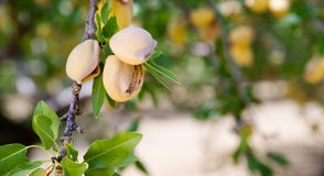 Pomar Califórnia da produção alimentar da agricultura da exploração agrícola de árvore Nuts da amêndoa Fotos de Stock Royalty Free