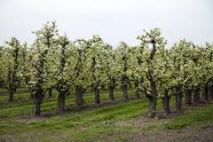 Pomar com árvores de florescência do tronco da maçã as baixas Imagens de Stock
