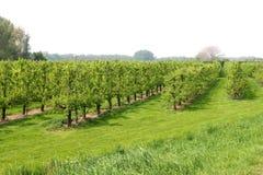 Pomar com árvores de fruto, Países Baixos Fotos de Stock Royalty Free