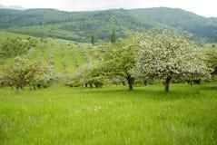 Pomar com árvores de maçã Imagens de Stock Royalty Free