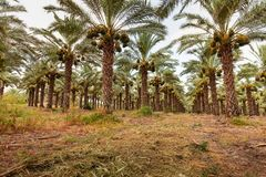 Pomar com as árvores da data da palma foto de stock