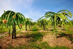 Pomar com muitos fruto do dragão Fotografia de Stock