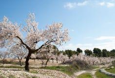 Pomar da árvore de amêndoa Imagem de Stock Royalty Free
