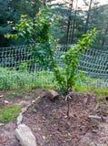 Pomar da árvore de ameixa da montanha de Santa Cruz California imagem de stock