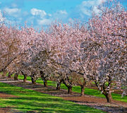 Pomar da árvore de fruta Foto de Stock