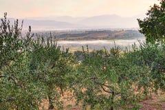 Pomar da oliveira em Úmbria, Itália Imagem de Stock