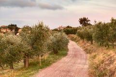 Pomar da oliveira em Úmbria, Itália Fotos de Stock