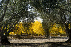 Pomar da romã na queda e em um bosque verde-oliva imagem de stock royalty free