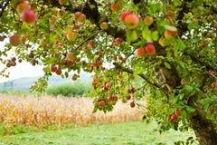 Pomar das árvores de Apple Fotografia de Stock Royalty Free
