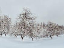 Pomar de Apple no inverno foto de stock royalty free