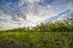 Pomar de Apple no por do sol Foto de Stock