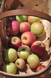Pomar de Apple orgânico Imagem de Stock Royalty Free