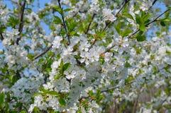 Pomar de cereja de florescência Fotos de Stock Royalty Free
