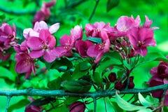 Pomar de florescência Flores da mola da árvore de Apple Fotografia de Stock Royalty Free