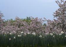 Pomar de maçã de florescência Imagem de Stock