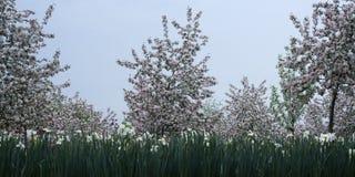 Pomar de maçã de florescência Fotografia de Stock