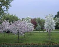Pomar de maçã de florescência Imagens de Stock Royalty Free