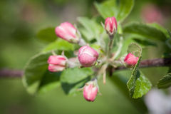 Pomar de maçã de florescência das árvores de maçã na primavera Imagem de Stock Royalty Free