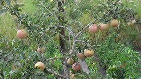 Pomar de maçã do outono Balanço suculento das maçãs no vento vídeos de arquivo
