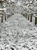 Pomar de maçã podado forte sob a neve foto de stock