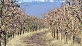 pomar de maçã podado no inverno fotografia de stock