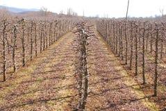pomar de maçã podado no inverno fotografia de stock royalty free
