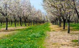 Pomar de Michigan de árvores de cereja de florescência Fotografia de Stock