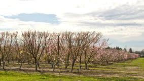 Pomar na primavera Fotografia de Stock