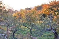 Pomar velho no sol do outono nas montanhas Fotos de Stock Royalty Free