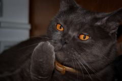 Pomarańcze przyglądający się brytyjski kot zdjęcia stock