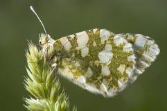 Pomarańczowej porady Anthocharis motyli cardamines zdjęcia royalty free