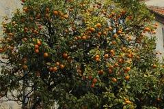 Pomarańczowy drzewo z pomarańczami obraz royalty free