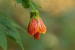 Pomarańczowy dzwonkowego kwiatu obwieszenie od rośliny zdjęcie stock