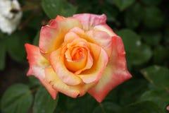 Pomarańcz menchii róża Zdjęcie Royalty Free