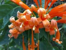 Pomarańcz trąbki lub pyrostegia venusta zdjęcie royalty free