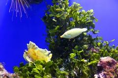 Pomarańcze łaciasty filefish Obraz Stock