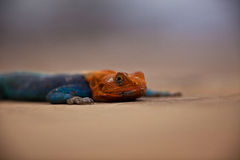 Pomarańcze Agama Głowiasta jaszczurka Zdjęcia Stock