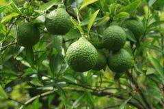 Pomarańcze & x28; dekopon& x29; zostać drzewem Fotografia Royalty Free