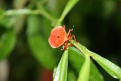 Pomarańcze dorosła Pluskwa Zdjęcie Royalty Free