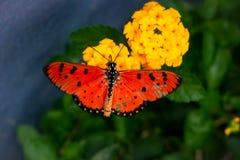 Pomarańcze dostrzegający skrzydłowi motyle Zdjęcie Royalty Free