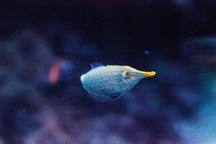 Pomarańcze filefish Oxymonacanthus łaciaści longirostris Obraz Royalty Free