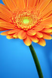 pomarańcze gerbera Obraz Stock