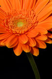 pomarańcze gerbera Zdjęcia Stock