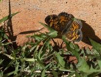 Pomarańcze i czerń Perełkowy Półksiężyc motyl na domu Obraz Royalty Free