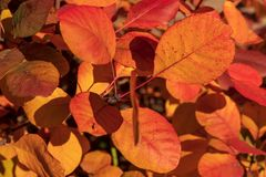 Pomarańcze i czerwień barwiący opuszczamy na gałąź w jesieni obraz royalty free