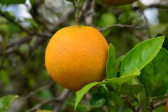 Pomarańcze I liście Obrazy Stock