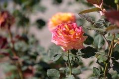 Pomarańcze i menchii róży kwiat z zieleń liśćmi w ogródzie Fotografia Royalty Free