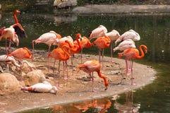 Pomarańcze i różani flamingi blisko jeziora Zdjęcia Royalty Free